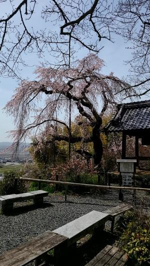 天然記念物のしだれ櫻